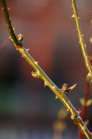 thorns  sharp: A photo of rose thorns Stock Photo