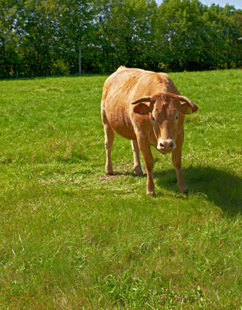A photo of brown or reddish cows photo