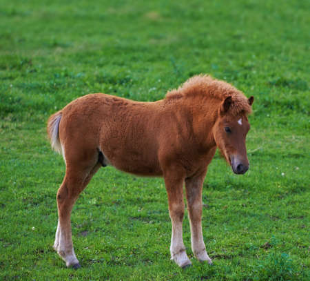 A photo of a brown foal on a green field photo