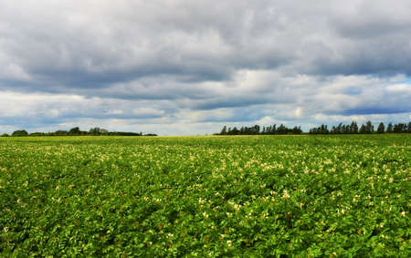 A photo of Green potatoes field end blue sky Stock Photo - 14861349