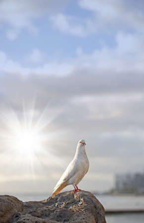 high spirits: A photo of a white dove at sunset Stock Photo
