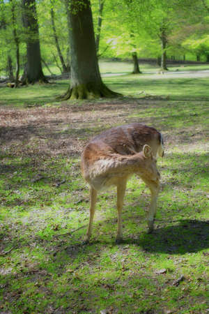 conservation grazing: A photo of deers in a national park - Denmark Stock Photo