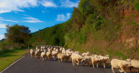 A photo of sheeps i New Zealand photo