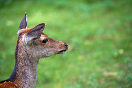 herbivore natural: A photo of a deer in natural setting Stock Photo