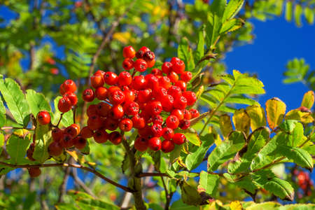european rowan: A photo of Rowan berries in natural setting