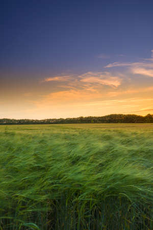 A photo of a Green Wheat field in sunset
