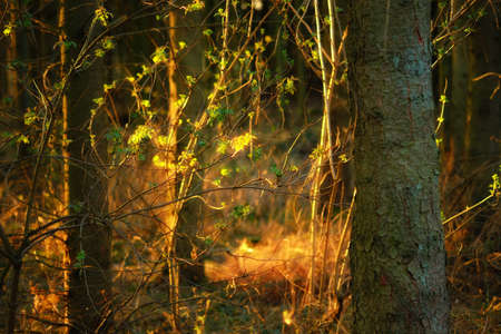 A photo of Sunset in pine forest Stock Photo - 15508483