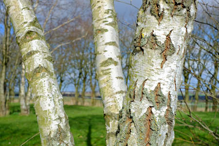 A photo of a Birch tree Stock Photo - 15508489