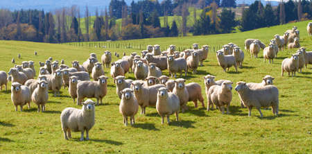 a photo of lots of sheep in natural setting