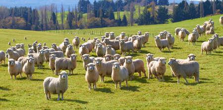 ein Foto von vielen Schafe in natürlicher Umgebung Standard-Bild