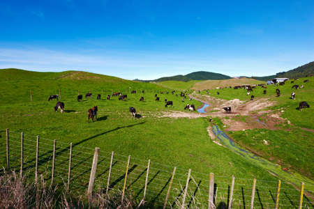 New Zealand landscape with farmland and grazing cows Stock Photo - 15303446