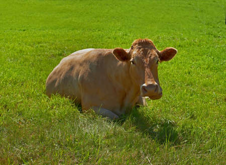 A photo of a  cow in natural setting photo
