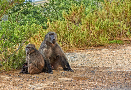 A photo of wild Baboon family socializing  Stock Photo - 17294187
