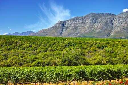 south african: A photo of wine fields - Shot near Stellenbosch, Western Cape, South Africa.