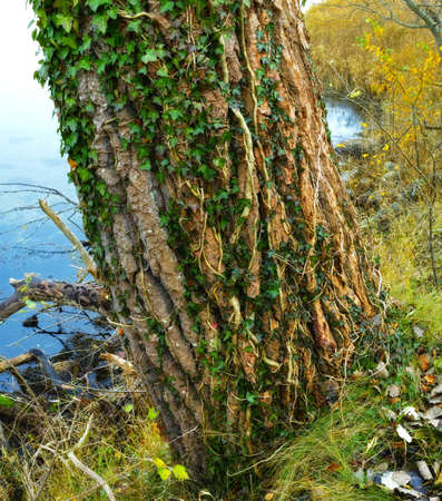 A photo of Green Ivy leaves, bark and sea Stock Photo - 17295425