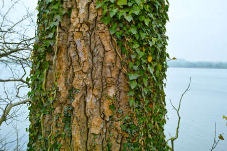 A photo of Green Ivy leaves, bark and sea Stock Photo - 17294874