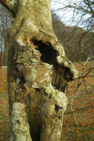 ocas: Una foto de un árbol hueco
