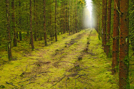 sun rising: A photo of a pine forest an early morning in autumn Stock Photo