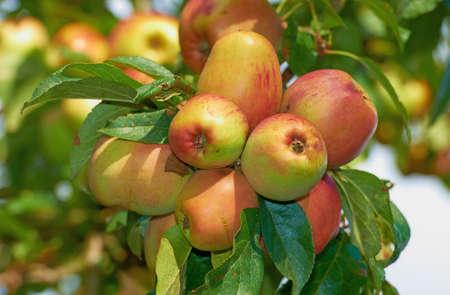 Een foto van appels Stockfoto