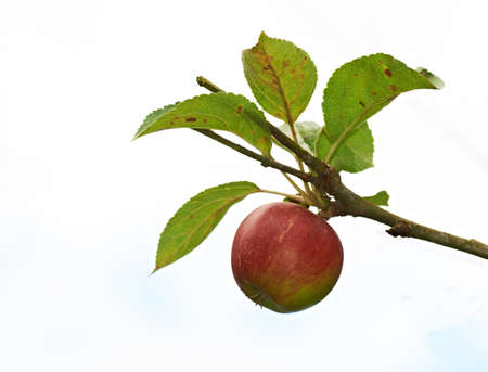 apple tree: A photo of apples