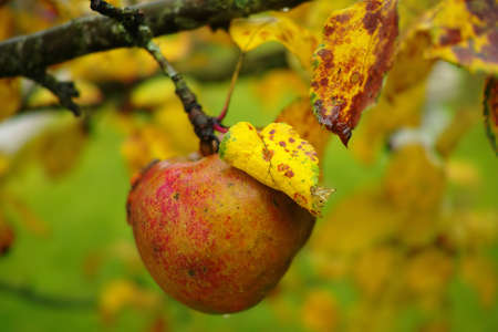 A detailed photo of old apples in the fall - natural setting photo