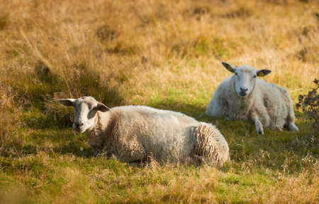 A photo of sheep in Rebild National Park, Denmark photo
