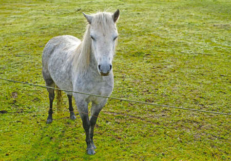 shire horse: A photo of a white horse