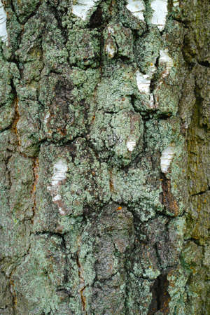 A photo of bark of a birch Stock Photo - 17331292