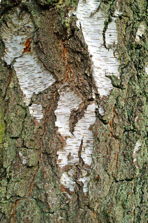 A photo of bark of a birch photo