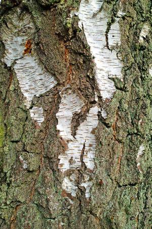 birch bark: A photo of bark of a birch