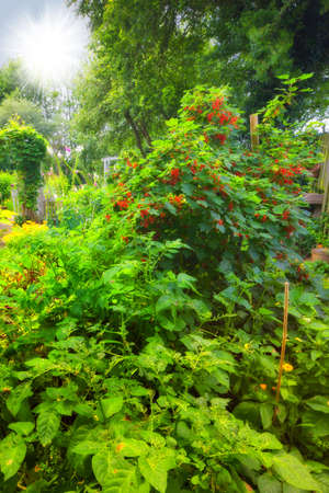 bacca: An image of a redcurrant bush Stock Photo