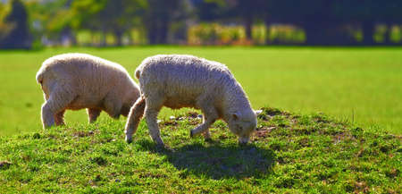A photo of sheep - New Zealand photo