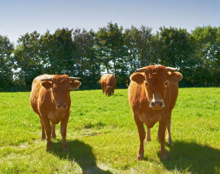 A photo of Brown cows in landscape photo