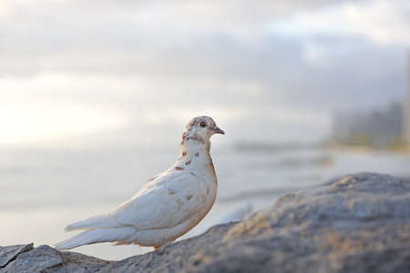 A photo of dove sitting on a rock at sunset photo