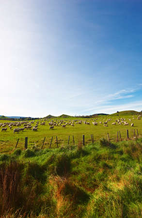 New Zealand landscape with farmland and grazing cows Stock Photo - 17357338