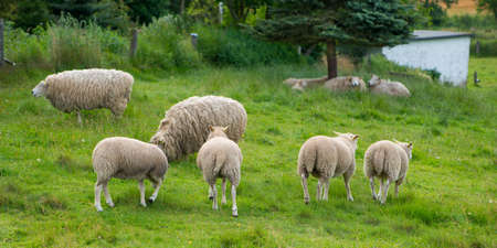 dordrecht: A photo of sheeps in natural setting