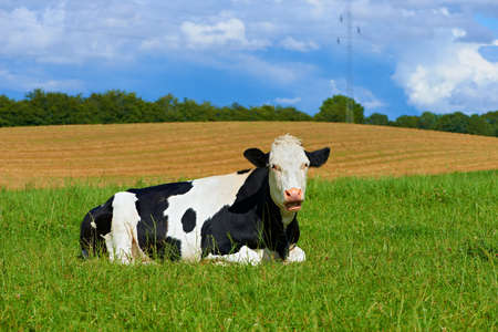 A photo of a black and white cow in natural setting photo