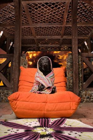 Labrador relaxing after bath. Close up of black Labrador dog wrapped in towel sitting in luxurious orange chair, fire effect background.