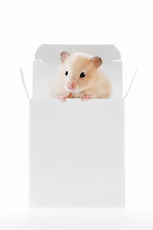 A white hamster in a white box Stock Photo - 6758556