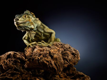 reptilian: A green iguana on a tree branch. Stock Photo