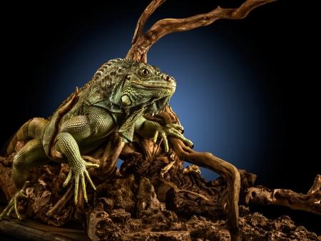 iguana: Creepy dragon. A green iguana on a tree branch.