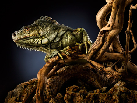 island: A green iguana on a tree branch. Stock Photo