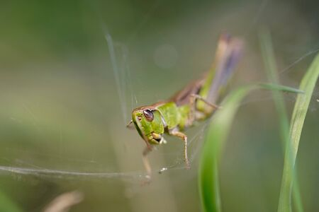Close up picture of a green grasshopper sitting on a grass