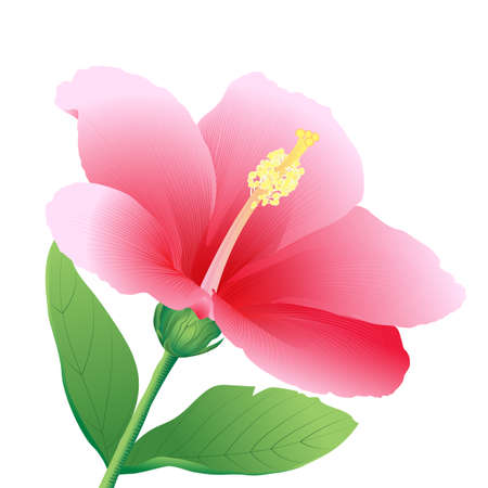 stamens: Hibiscus illustration isolated on white background.