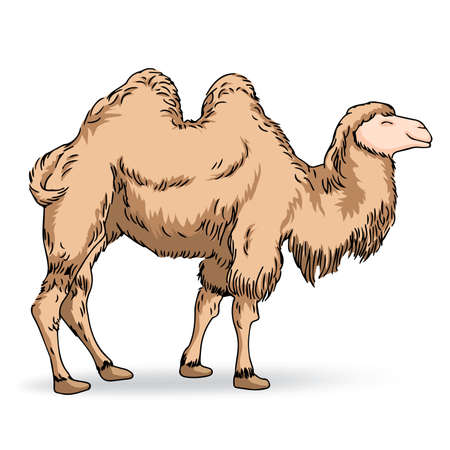 sand dune: Camel, Illustration