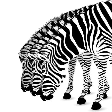 zebra skin: Zebra standing and bend down.. Wild animal texture. Striped black and white.Step of white, isolated on white background. Illustration