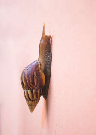 Big snail in shell crawling on home wall. Summer day in garden, outdoor. Stock Photo