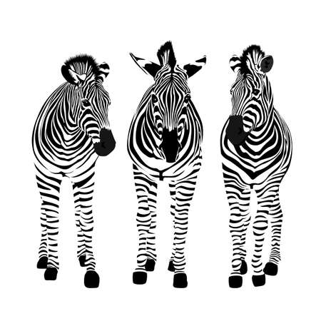 Three zebras standing. Savannah animal ornament. Wild animal texture. Striped black and white. Vector illustration isolated on white background.