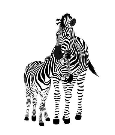 Zebra family.  Wild animal texture. Striped black and white. Vector illustration isolated on white background.