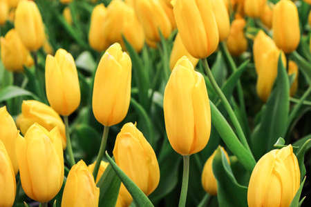 Yellow tulip flower with green leaf background in tulip field at winter or spring day for postcard beauty decoration and agriculture concept design.